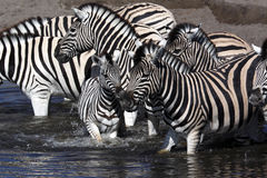 Zebra - Namibia Royalty Free Stock Photography