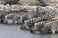 Zebra - Namibia. Zebra (equus quagga) drinking at a waterhole in Etosha National Park in Namibia Stock Image
