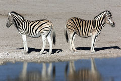 Zebra - Namibia. Two zebra at a waterhole in Etosha National Park in Namibia Stock Photography