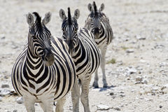 Zebra namibia Royalty Free Stock Photos