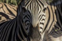 Zebra, Namibia Immagine Stock