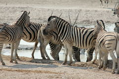 Zebra  in Namibia Stock Photos