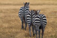 Zebra in Nationaal Park Royalty-vrije Stock Afbeeldingen