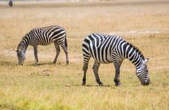Zebra in nationaal park Afrika, Kenia Stock Foto's