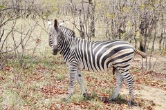 Zebra in Nationaal Park Kruger royalty-vrije stock fotografie
