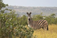 Zebra in Nationaal Park Kruger Royalty-vrije Stock Foto's