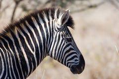 Zebra in Nationaal Park Kruger royalty-vrije stock foto