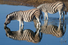 Zebra in National Park. In the serengeti in Africa Royalty Free Stock Images