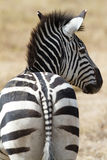 Zebra in National Park. In the serengeti in Africa Royalty Free Stock Photos