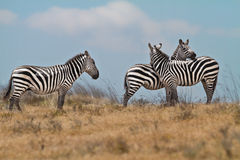 Zebra in National Park Royalty Free Stock Photos