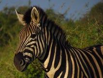 Zebra in natura, colore di alba che cade sul fronte Fotografia Stock