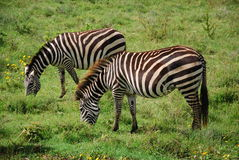 Zebra in natural enviroment. Two zebras in natural enviroment royalty free stock photos