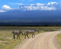 Zebra Royalty Free Stock Image