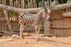 Zebra in the nature Stock Images