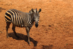 Zebra in the nature Royalty Free Stock Images