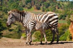 Zebra in natuurlijk landschap Stock Foto