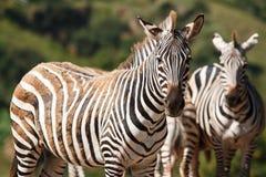 Zebra in natuurlijk landschap Stock Foto's