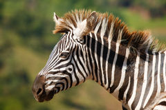 Zebra in natuurlijk landschap Stock Afbeeldingen