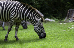 Zebra am NC-Zoo Lizenzfreies Stockfoto