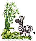 A zebra near the bamboo grass Royalty Free Stock Images
