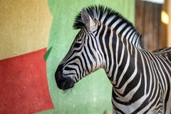 Zebra near the colored wall in zoo.  stock photo