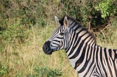Zebra Near Green Plants Royalty Free Stock Images
