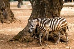 Zebra near a tree. Zebra walking near a tree stock photo