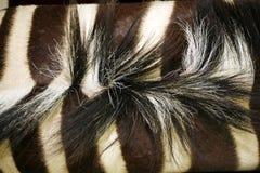 Zebra neck with mane Stock Photos