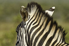 Zebra neck and mane Stock Image