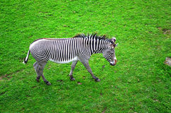 Zebra nel campo Fotografie Stock