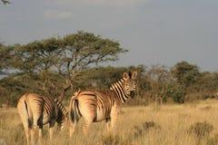 Zebra nel Capo Nord Fotografie Stock