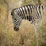 Zebra nel cespuglio fotografie stock