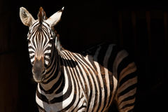 Zebra nel fondo nero Fotografie Stock