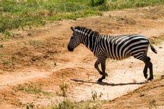 Zebra nel parco nazionale di Tarangire, Tanzania Fotografie Stock Libere da Diritti