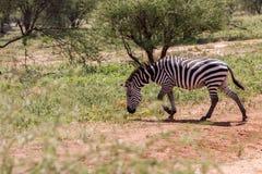 Zebra nel parco nazionale di Tarangire, Tanzania Immagine Stock
