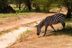 Zebra nel parco nazionale di Tarangire, Tanzania Immagini Stock Libere da Diritti