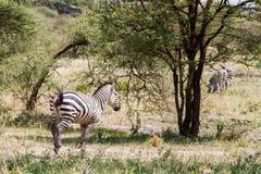 Zebra nel parco nazionale di Tarangire, Tanzania Immagini Stock