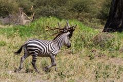 Zebra nel parco nazionale di Tarangire, Tanzania Fotografie Stock