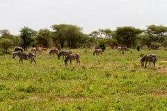 Zebra nel parco nazionale di Tarangire, Tanzania Immagine Stock Libera da Diritti