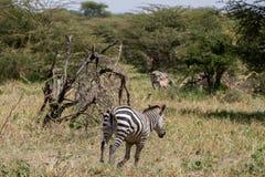 Zebra nel parco nazionale di Tarangire, Tanzania Fotografia Stock Libera da Diritti