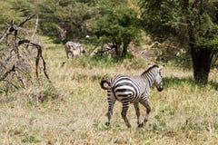 Zebra nel parco nazionale di Tarangire, Tanzania Fotografia Stock