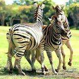 Zebra nel selvaggio Immagini Stock Libere da Diritti