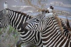 Zebra nel selvaggio Fotografie Stock Libere da Diritti