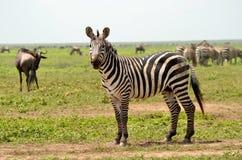 Zebra nel Serengeti Fotografie Stock