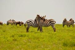Zebra nel Serengeti Fotografia Stock