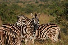 Zebra nell'erba Immagine Stock