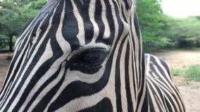 Zebra nella cattività in zoologico, nell'area africana video d archivio