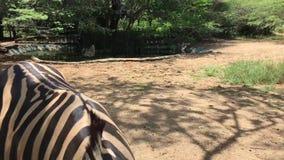 Zebra nella cattività in zoologico, nell'area africana stock footage