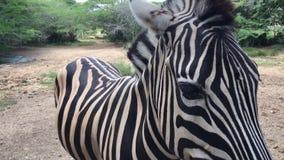 Zebra nella cattività in zoologico, nell'area africana archivi video