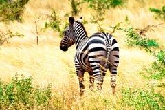 Zebra nella savanna del Kenia Immagine Stock Libera da Diritti